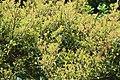 Camellia brevistyla in Auckland Botanic Gardens 02.jpg