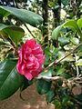 Camellia japonica (3).JPG