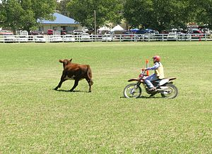 2007 Australian equine influenza outbreak - Campdrafting on motorcycle instead of horse, per restrictions