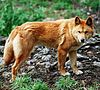 Dingo (Canis lupus dingo) at Cleland wildlife park, South Australia