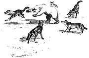 Reconstruction of a wolf pack confronting a Grizzly bear by Adolph Murie (1944)