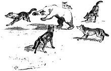 Ricostruzione di uno scontro tra un orso bruno e un branco di lupi di Adolph Murie (1944).