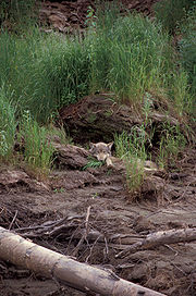 A wolf resting at the entrance to its den; also note how its coloration blends in with the environment.