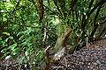 Canopied lane of laurels, Nuthurst, West Sussex, England 10.jpg