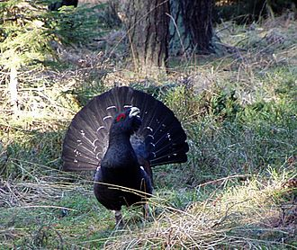 Lek mating - A posing western capercaillie