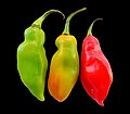 Capsicum annuum on black background.jpg