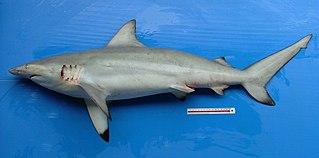 Graceful shark species of fish