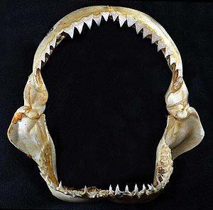 Oceanic whitetip shark - Jaws