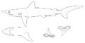 Carcharhinus macloti nmfs.png