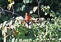 Cardinal Perched on a Tree Limb, North Bay Park, Ypsilanti Township, Michigan - panoramio.jpg