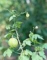 Cardiospermum halicacabum HRM.jpg