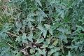 Carduus crispus - Mainz IMG 5796.JPG