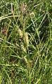 Carex hirta inflorescens (46).jpg