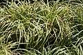 Carex morrowii Silver Sceptre 1zz.jpg