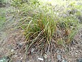Carex spissa - University of California Botanical Garden - DSC09013.JPG