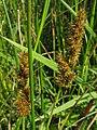 Carex vulpinoidea inflorescense (16).jpg