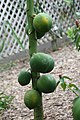Carica papaya 27zz.jpg