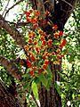 Cassia brewsteri 458.jpg