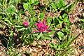 Castilleja parviflora - Paradise, Mount Rainier, August 2014 - 01.jpg