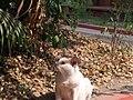 Cat playing in the Vidyasagar house 04.jpg
