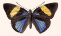 Catagramma Faustina (upperside).png