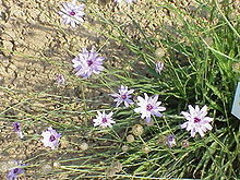 Catananche caerulea4.jpg