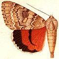 Catocala hippolyta.JPG