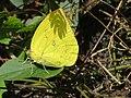 Catopsilia pomona Fabricius, 1775 – Lemon Emigrant at Mayyil (2).jpg
