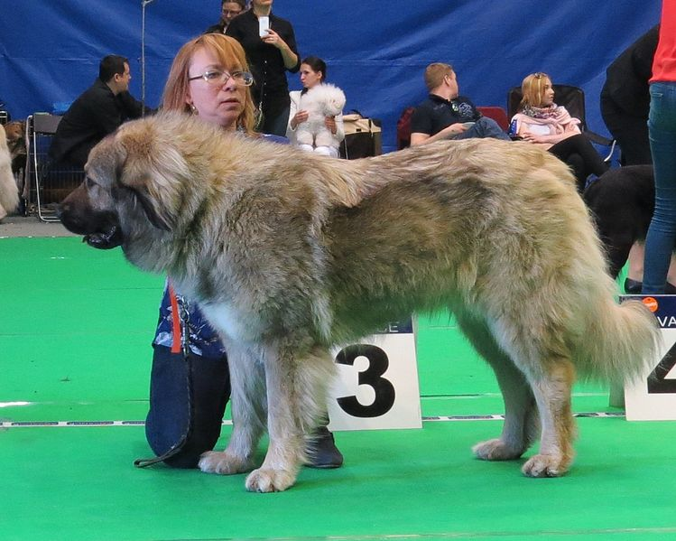 caucasian shepherd training