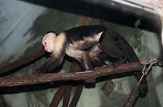 Colombian white-faced capuchin Species of New World monkey
