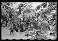 Cedars of Lebanon in snow with skiers LOC matpc.22651.jpg