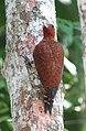 Celeus loricatus Carpintero canelo Cinnamon Woodpecker (male) (12219845465).jpg