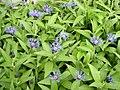 Centaurea montana3.jpg