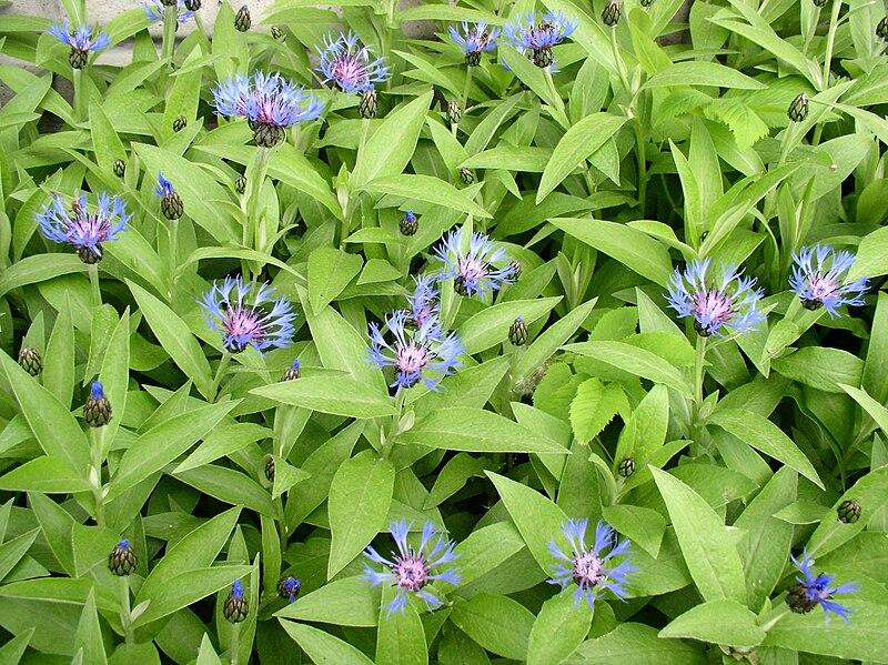File:Centaurea montana3.jpg