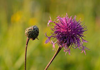Centaurea scabiosa - Image: Centaurea scabiosa põldjumikas Valingu