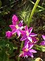 Centaurium erythraea flores.jpg