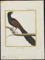 Centropus viridis - 1700-1880 - Print - Iconographia Zoologica - Special Collections University of Amsterdam - UBA01 IZ18800161.tif