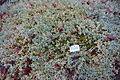 Cerastium tomentosum - Botanischer Garten, Dresden, Germany - DSC08719.JPG