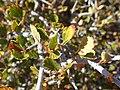 Cercocarpus montanus kz03.jpg