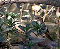 Certhiaxis cinnamomeus.jpg