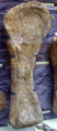 Cetiosaurus rt humerus2.png