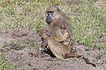 Female Chacma baboon with infant (Botswana)