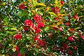 Chaenomeles japonica Fleurs.jpg
