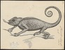 Chamaeleo vulgaris - 1700-1880 - Print - Iconographia Zoologica - Special Collections University of Amsterdam - UBA01 IZ12300039.tif