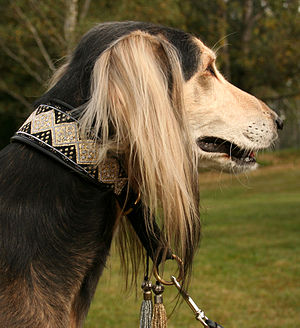Saluki - The breed is sensitive and intelligent, and should never be trained using force or harsh methods.