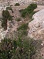 Cheirolophus crassifolius Malta Dingli Cliffs 04.jpg