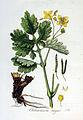 Chelidonium majus — Flora Batava — Volume v3.jpg