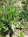 Chenopodium rubrum (s. str.) sl43.jpg