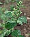 Chenopodium vulvaria inflorescence (15).jpg