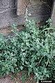 Chenopodium vulvaria plant (1).jpg